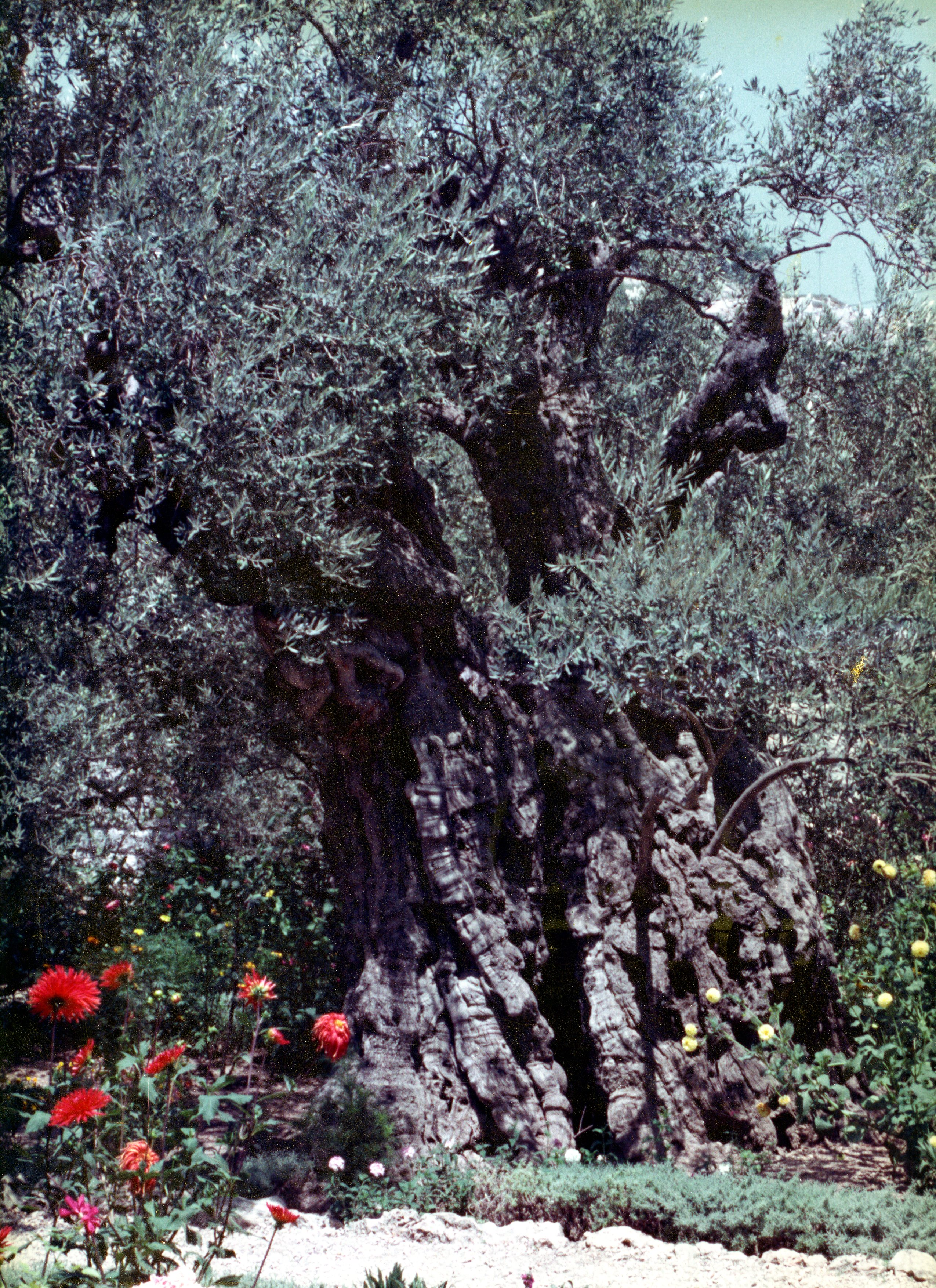 The Olive Tree  091